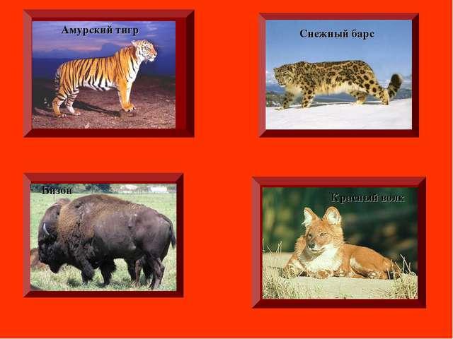 Амурский тигр Красный волк Снежный барс Бизон