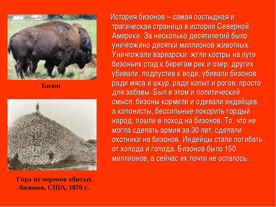 История бизонов – самая постыдная и трагическая страница в истории Северной...