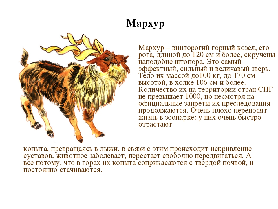 Мархур Мархур – винторогий горный козел, его рога, длиной до 120 см и более,...