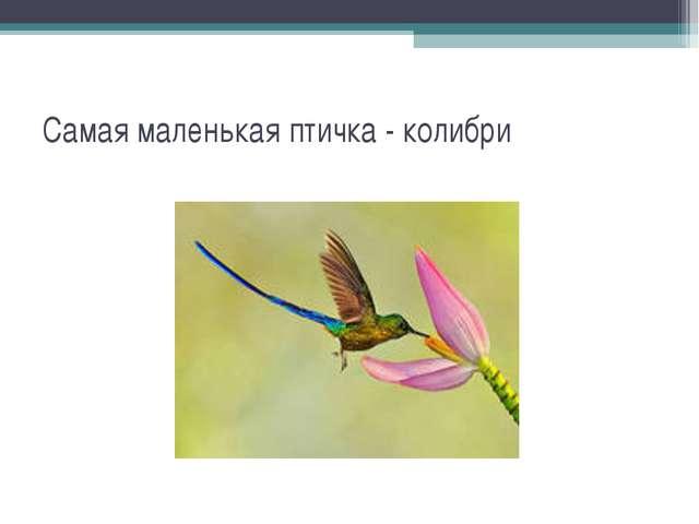 Самая маленькая птичка - колибри