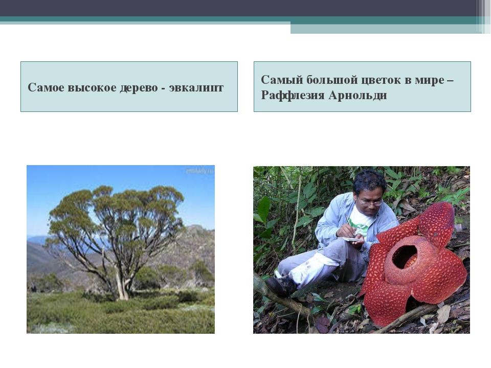 Самое высокое дерево - эвкалипт Самый большой цветок в мире – Раффлезия Арнол...