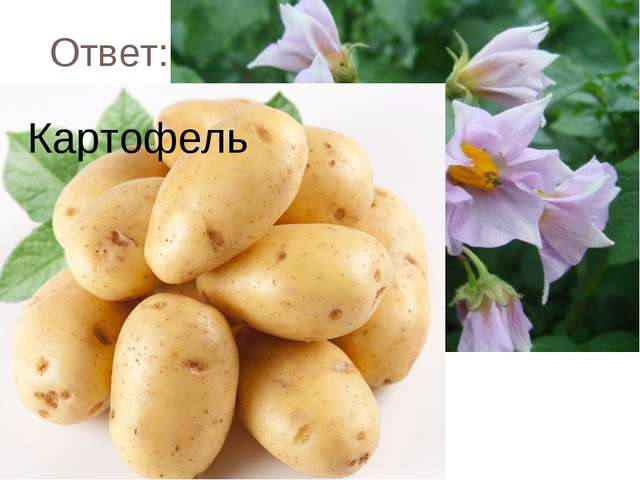 Ответ: Картофель