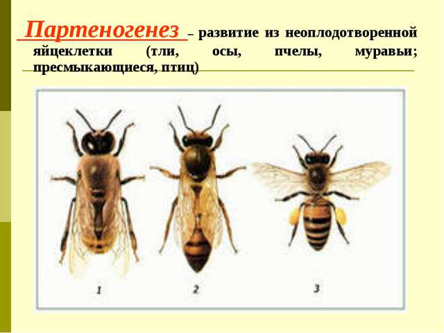 Партеногенез – развитие из неоплодотворенной яйцеклетки (тли, осы, пчелы, му...