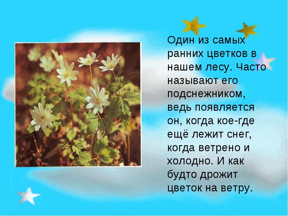 Один из самых ранних цветков в нашем лесу. Часто называют его подснежником, в...