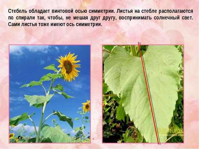 Стебель обладает винтовой осью симметрии. Листья на стебле располагаются по с...