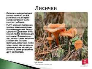 Лисички словно ушки рыжей лисицы торчат из лесной растительности. Их яркий на
