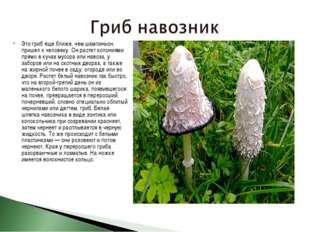Это гриб еще ближе, чем шампиньон, пришел к человеку. Он растет колониями пря