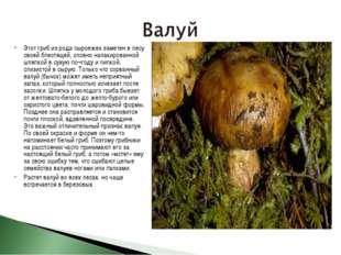 Этот гриб из рода сыроежек заметен в лесу своей блестящей, словно налакирован