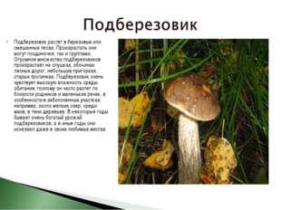 Подберезовик растет в березовых или смешанных лесах. Произрастать они могут п