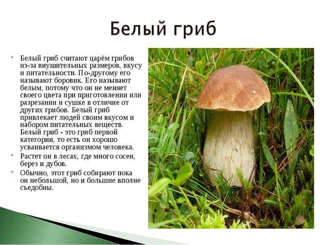 Белый гриб считают царём грибов из-за внушительных размеров, вкусу и питатель...