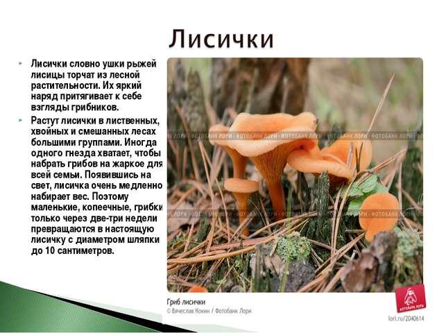 Лисички словно ушки рыжей лисицы торчат из лесной растительности. Их яркий на...