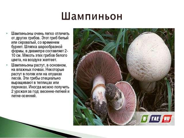 Шампиньоны очень легко отличить от других грибов. Этот гриб белый или сероват...