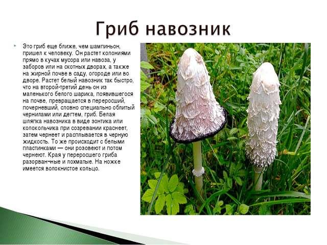 Это гриб еще ближе, чем шампиньон, пришел к человеку. Он растет колониями пря...