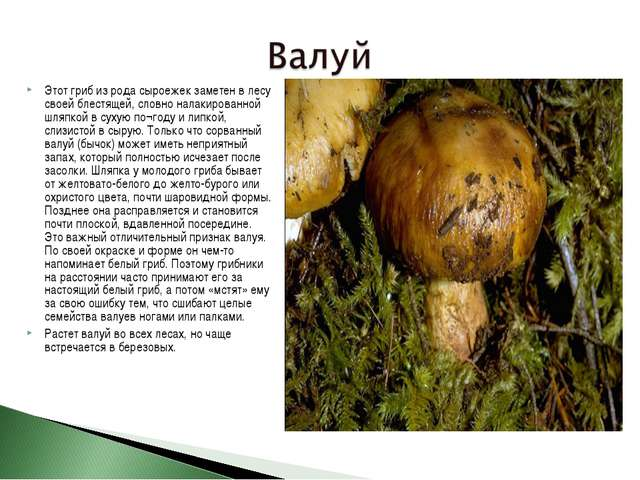 Этот гриб из рода сыроежек заметен в лесу своей блестящей, словно налакирован...