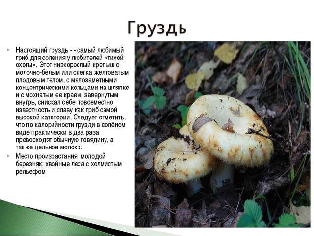 Настоящий груздь - - самый любимый гриб для соления у любителей «тихой охоты»...