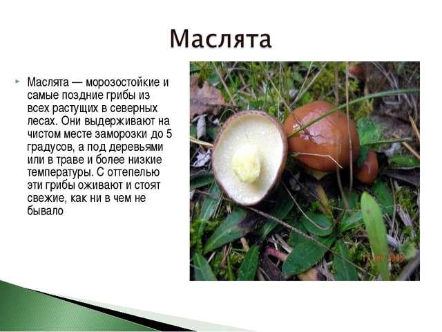 Маслята — морозостойкие и самые поздние грибы из всех растущих в северных лес...