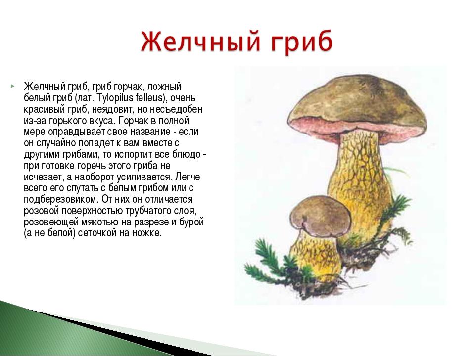 Желчный гриб, гриб горчак, ложный белый гриб (лат. Tylopilus felleus), очень...