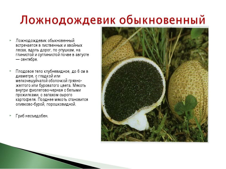 Ложнодождевик обыкновенный встречается в лиственных и хвойных лесах, вдоль до...