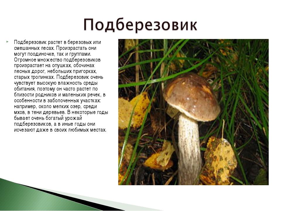 Подберезовик растет в березовых или смешанных лесах. Произрастать они могут п...