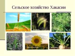 Сельское хозяйство Хакасии Пшеница Ячмень Просо Овес Подсолнечник Сахарная св
