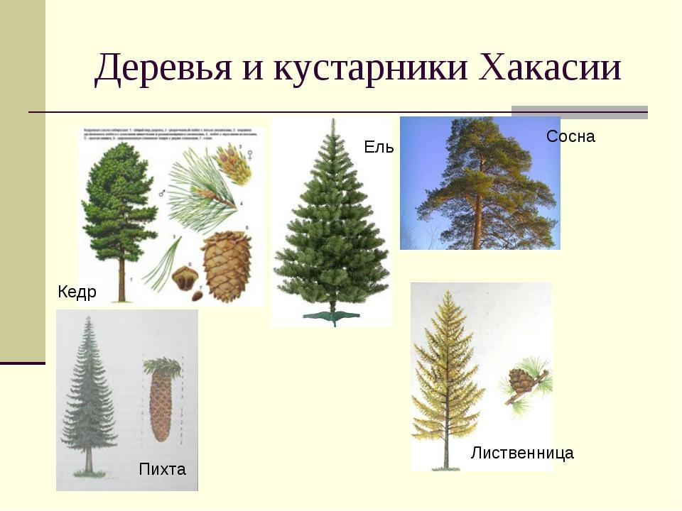 Деревья и кустарники Хакасии Кедр Ель Сосна Сосна Пихта Лиственница