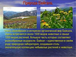 Природа Байкала. Очень своеобразен и интересен органический мир Байкала. Здес