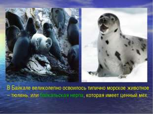 В Байкале великолепно освоилось типично морское животное – тюлень, или байка