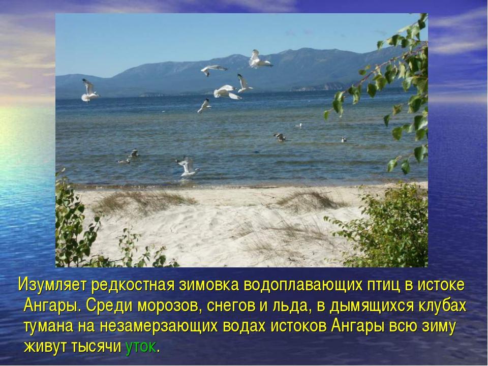 Изумляет редкостная зимовка водоплавающих птиц в истоке Ангары. Среди морозо...