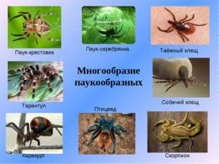 Многообразие паукообразных Паук-крестовик Тарантул Каракурт Паук-серебрянка П