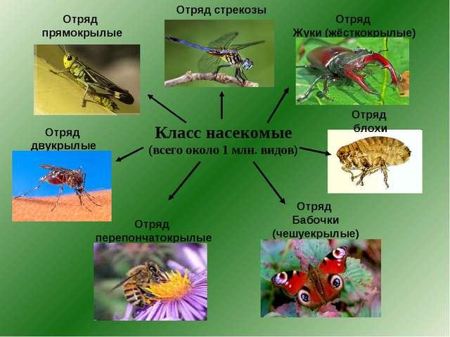 Класс насекомые (всего около 1 млн. видов) Отряд прямокрылые Отряд двукрылые...