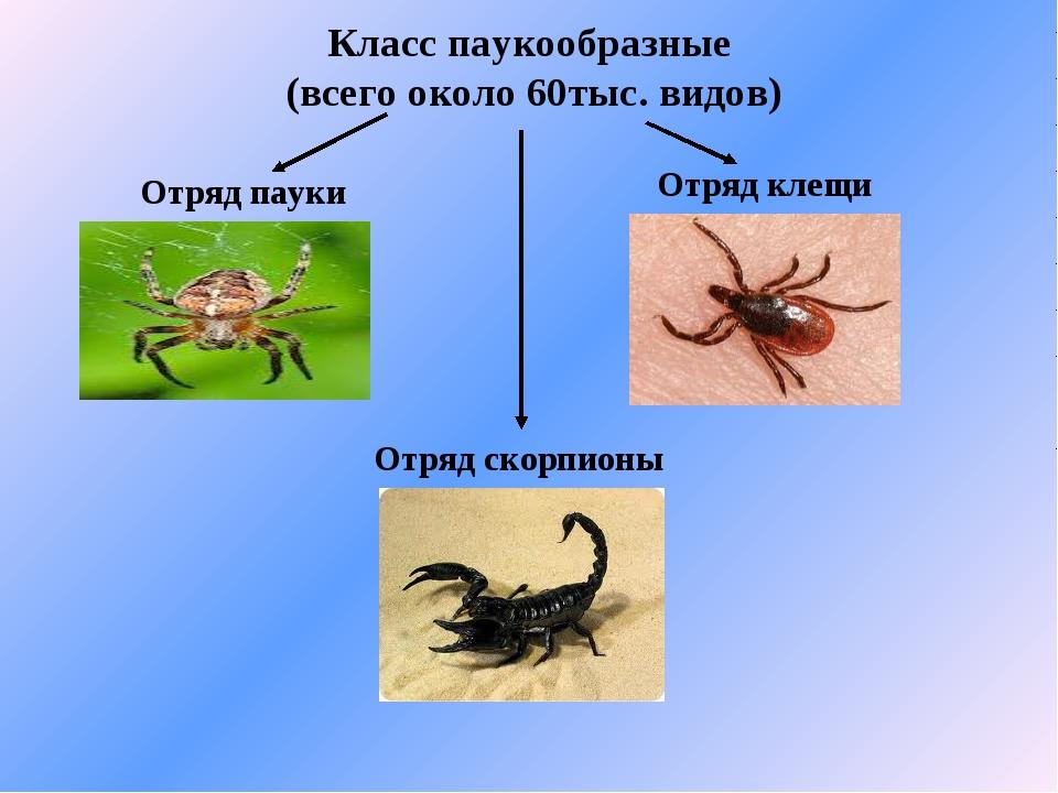 Класс паукообразные (всего около 60тыс. видов) Отряд пауки Отряд скорпионы От...