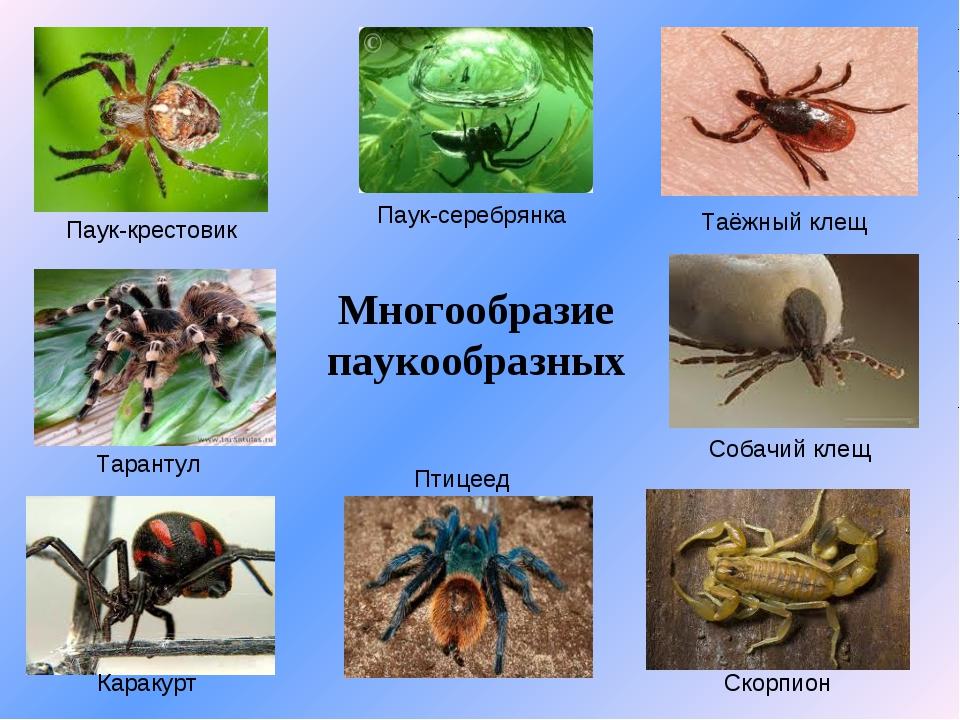 Многообразие паукообразных Паук-крестовик Тарантул Каракурт Паук-серебрянка П...