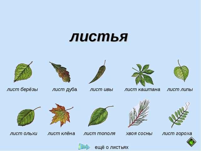 листья  лист берёзы лист дуба лист ивы лист каштана лист липы лист гороха хв...