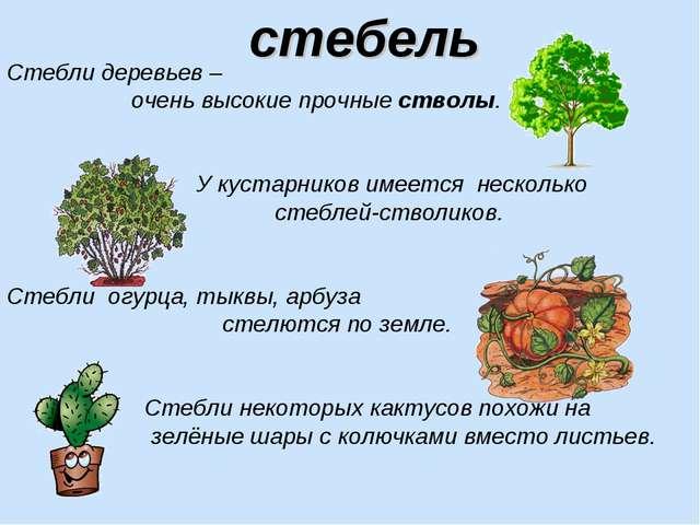 Стебли деревьев – очень высокие прочные стволы. У кустарников имеется несколь...