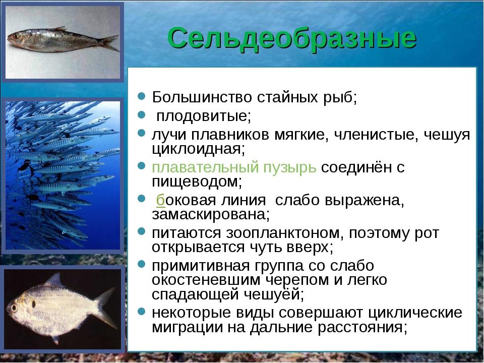 Сельдеобразные Большинство стайных рыб; плодовитые; лучи плавников мягкие, чл...