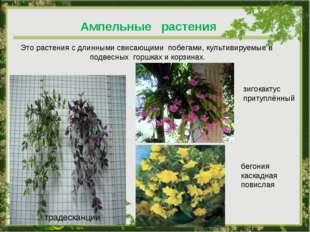 Ампельные растения Это растения с длинными свисающими побегами, культивируемы