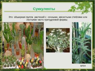 Это обширная группа растений с сочными, мясистыми стеблями или листьями част