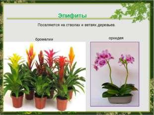 Эпифиты Поселяются на стволах и ветвях деревьев. орхидея бромелии