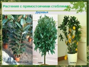Деревья фикус каучуконосный лавр Растения с прямостоячими стеблями лимон