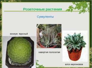 Розеточные растения Суккуленты алоэ карликовое хавортия полосатая эониум ярус