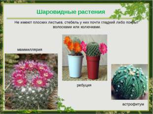 Шаровидные растения Не имеют плоских листьев, стебель у них почти гладкий либ