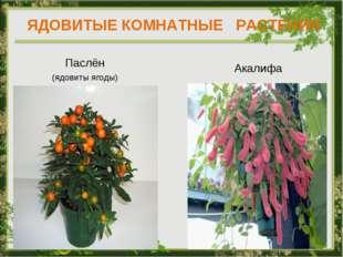 ЯДОВИТЫЕ КОМНАТНЫЕ РАСТЕНИЯ Паслён (ядовиты ягоды) Акалифа