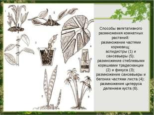 Способы вегетативного размножения комнатных растений: размножение частями кор