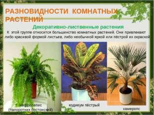 РАЗНОВИДНОСТИ КОМНАТНЫХ РАСТЕНИЙ Декоративно-лиственные растения К этой групп