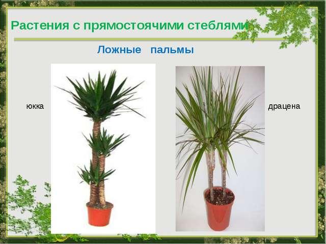 Ложные пальмы драцена юкка Растения с прямостоячими стеблями
