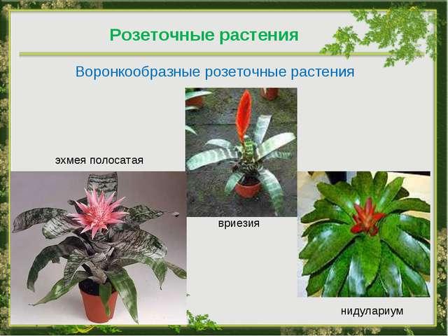 Розеточные растения Воронкообразные розеточные растения вриезия эхмея полосат...