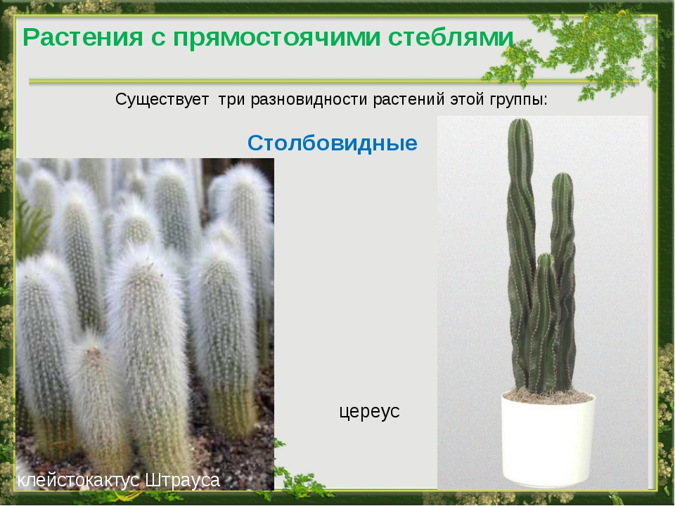 Растения с прямостоячими стеблями Существует три разновидности растений этой...