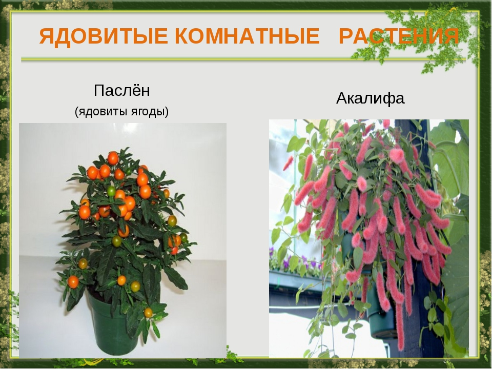ядовитые комнатные растения фото с названиями