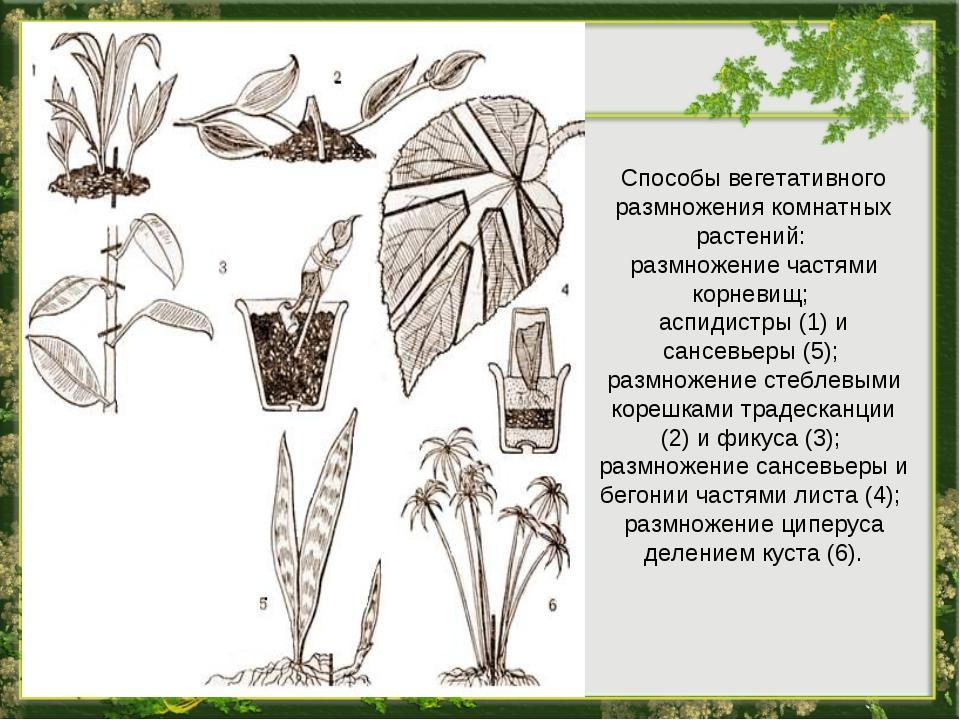 Способы вегетативного размножения комнатных растений: размножение частями кор...