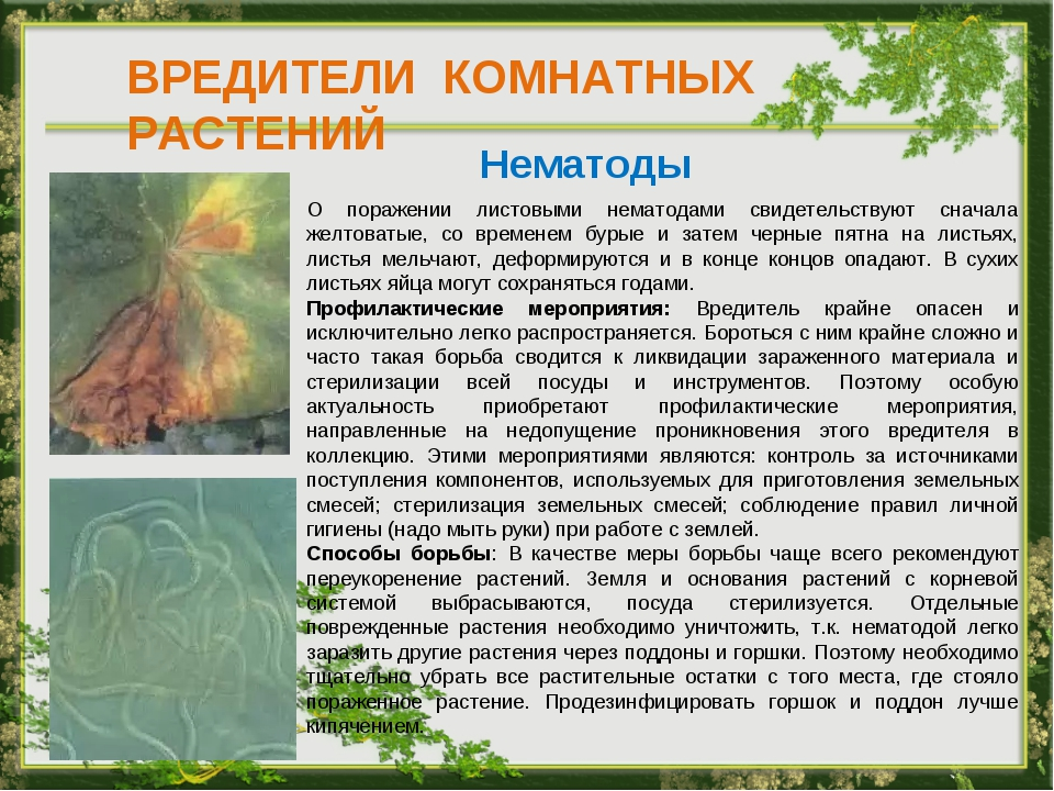 ВРЕДИТЕЛИ КОМНАТНЫХ РАСТЕНИЙ Нематоды О поражении листовыми нематодами свидет...